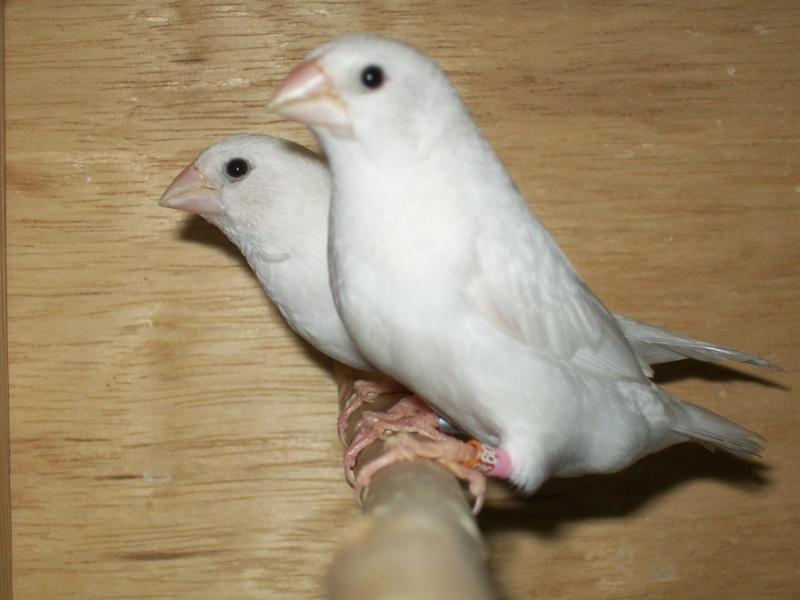 deuxiéme année d'élevage mdj blanc 100_5311