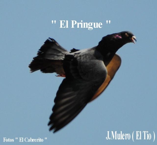 Palomos de J.Mulero ( EL TIO ) Jm24110
