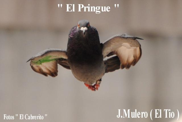 Palomos de J.Mulero ( EL TIO ) Jm24910