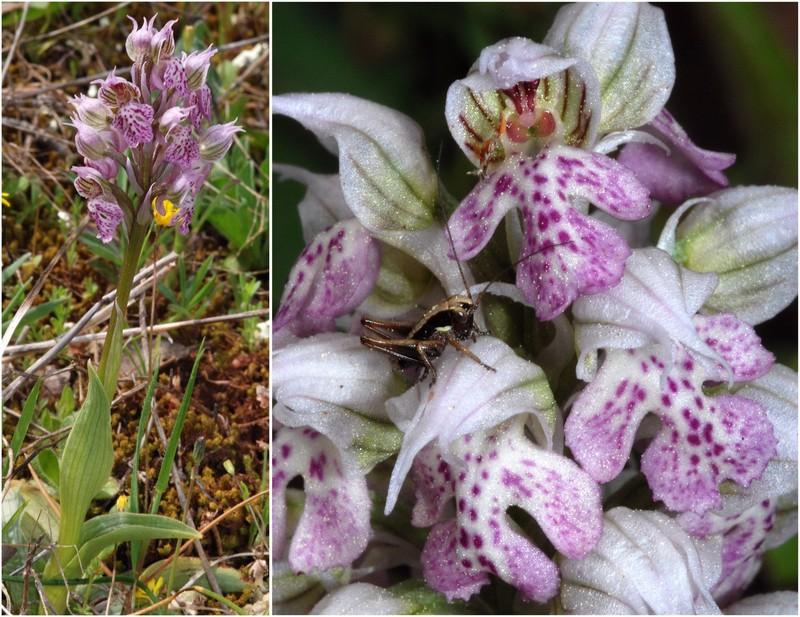 Neotinea lactea ( Orchis couleur de lait ) Dsc_0112
