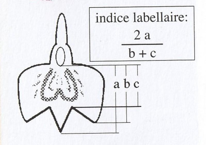 Dactylorhiza fuchsii Indice10