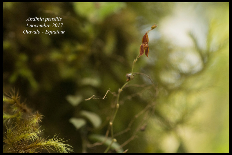 Voyage en Equateur. Andini14