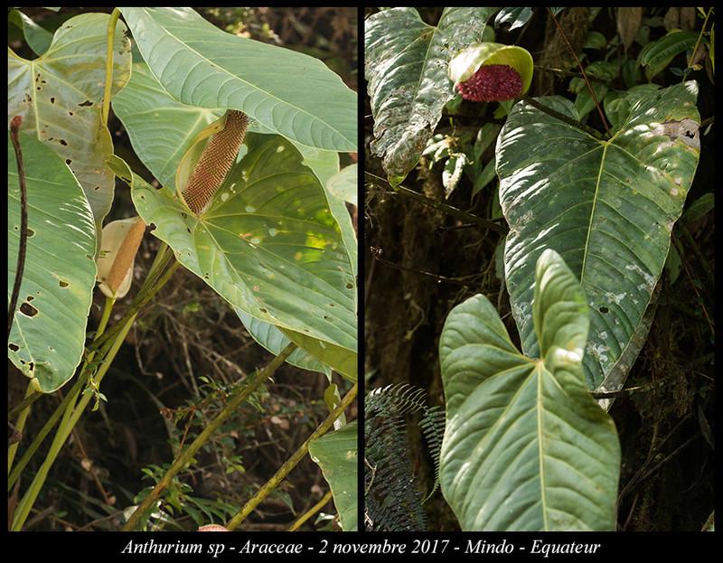 Voyage en Equateur. - Page 3 Anthur11