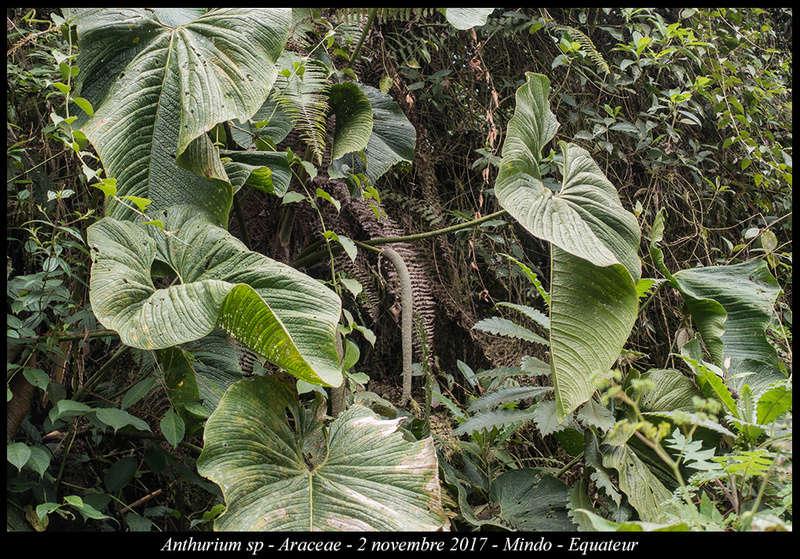 Voyage en Equateur. - Page 3 Anthur13