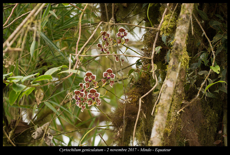 Voyage en Equateur. Cyrtoc10
