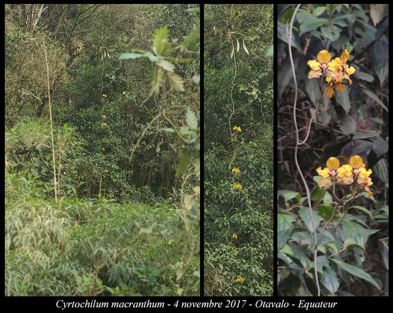 Voyage en Equateur. Cyrtoc17