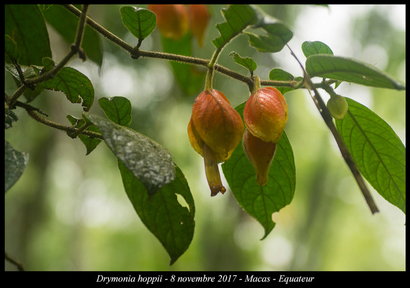 Voyage en Equateur. - Page 3 Drymon10