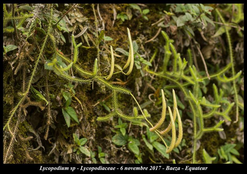 Voyage en Equateur. Lycopo10