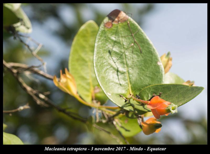 Voyage en Equateur. - Page 2 Maclea10
