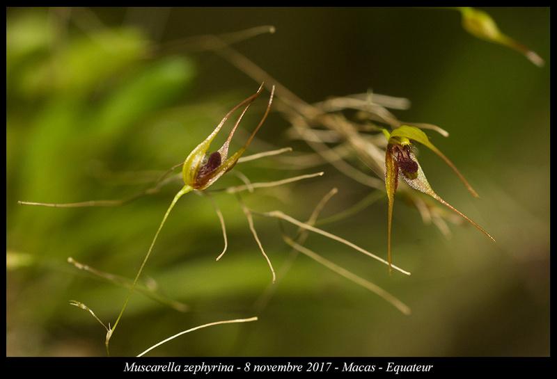 Voyage en Equateur. Muscar11