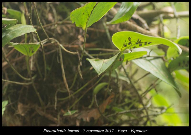 Voyage en Equateur. Pleuro17