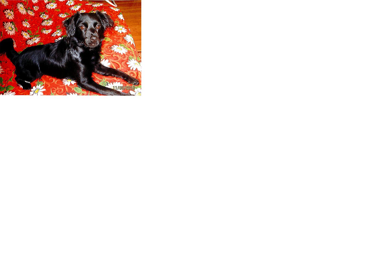 nolwë chiot male croisé (réservé) né le 30 septembre 2017 Nolw210