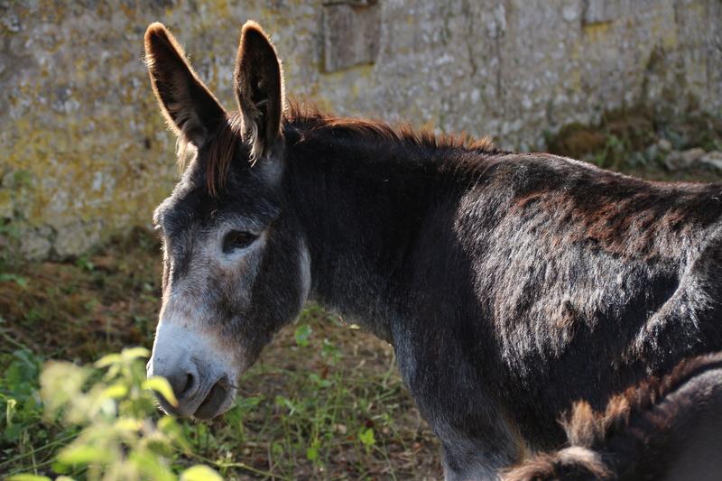 Les ânes, nos grandes oreilles adorées! Img_2711