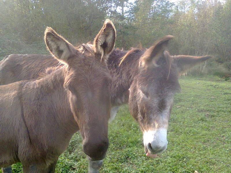 Les ânes, nos grandes oreilles adorées! Photo012