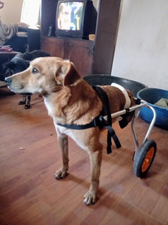 MIKI, M-X, né 2014, handicapé (Serbie/ex-Pension Gordana) En FA chez Aurore W. (Depart67) 20171248