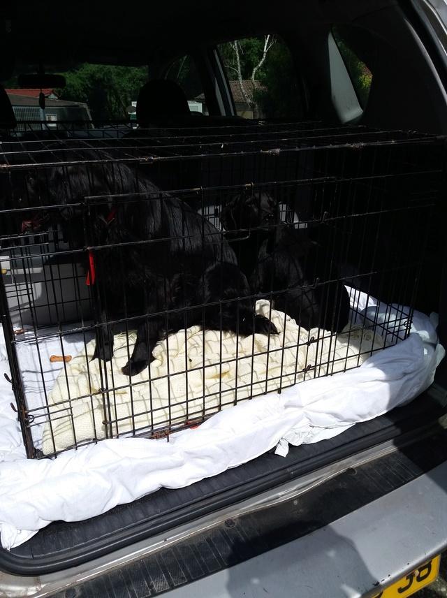 Arrivée camion des chiens Serbes de BELLA le 28 avril 2018 - Page 3 20180442
