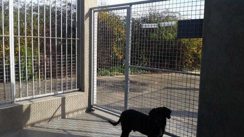 CHUKEN, M-X labrador noir, env. 34 kg, né 2014 (BACKA) - Pris en charge Association Galia - Page 4 Mukitz13