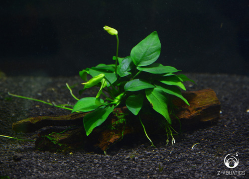 Débutante besoin d'aide pour projet aquarium 130 l Anubia10