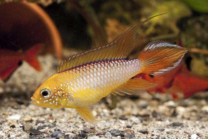 Nom de poisson  Apisto10