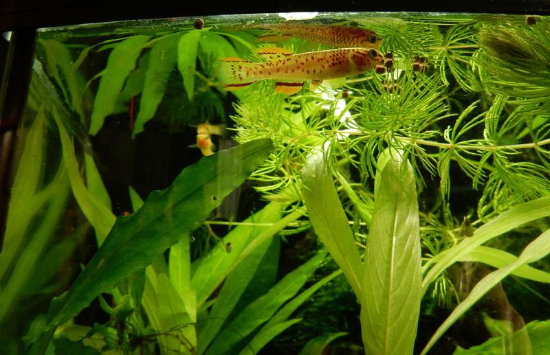 Aquarium Killie Gardeneri  Dscn2042