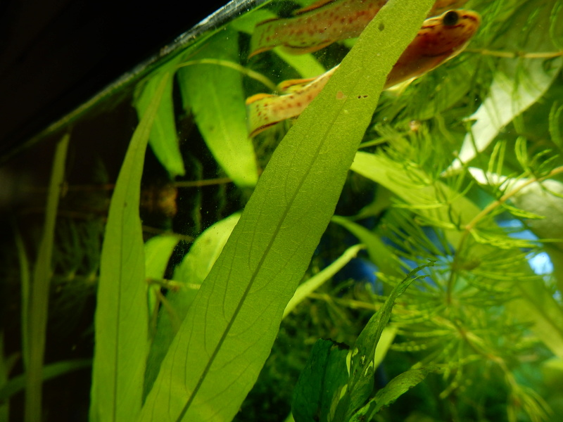 Aquarium Killie Gardeneri  Dscn2043