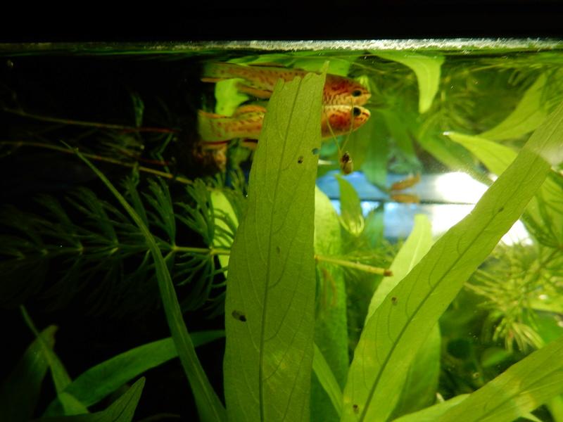 Aquarium Killie Gardeneri  Dscn2044