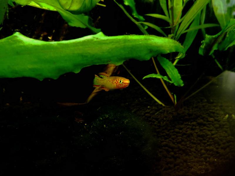 Aquarium Killie Gardeneri  Dscn2046