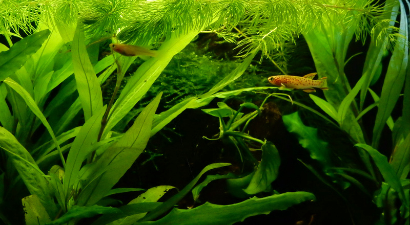 Aquarium Killie Gardeneri  Dscn2120