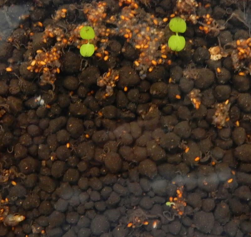 Graines pour gazon d'aquarium Dscn2237