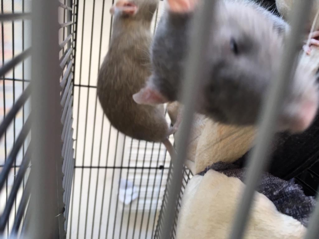 Donne 2 rates Rat110