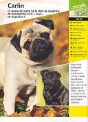 Forum des chiens Carlin10