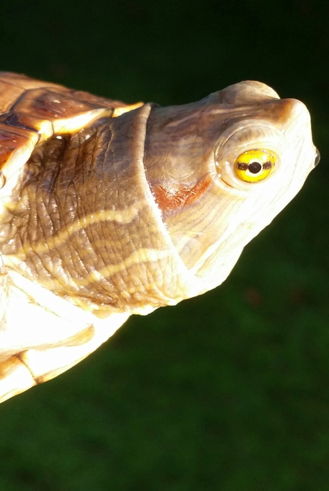photos de mes tortues (trachemys, pseudemys, chrysemys, etc) - Page 4 20181010