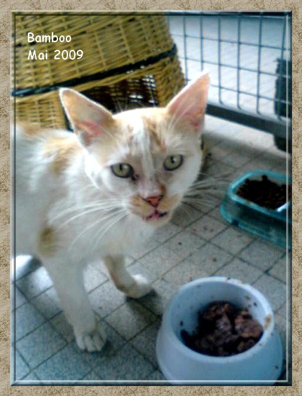 Bamboo, adorable jeune chat roux et blanc sauvé de la rue Dsc00518
