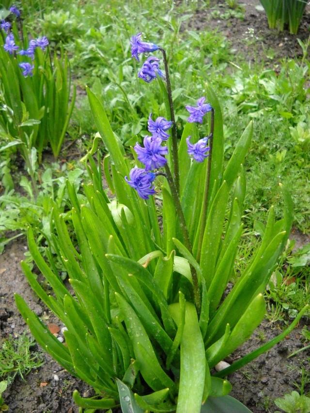 florile din apartament/gradina - Pagina 7 Pictu371