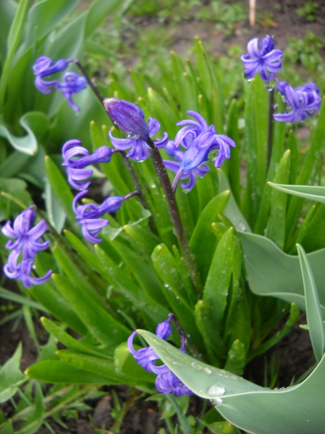 florile din apartament/gradina - Pagina 7 Pictu373