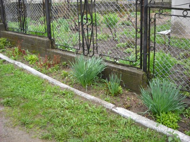 florile din apartament/gradina - Pagina 7 Pictu374