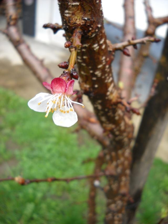 florile din apartament/gradina - Pagina 7 Pictu375