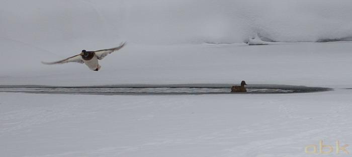 Canards sur un petit étang gelé Imgp2038