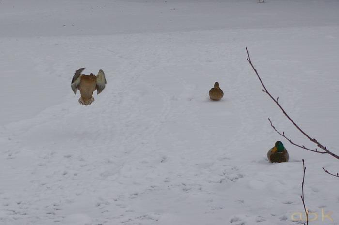 Canards sur un petit étang gelé Imgp2039