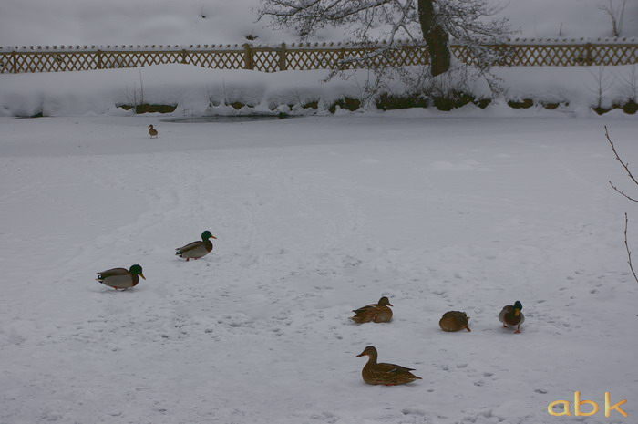 Canards sur un petit étang gelé Imgp2040