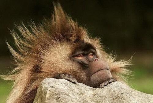 Những mái tóc cực xì tin của... khỉ 10071210