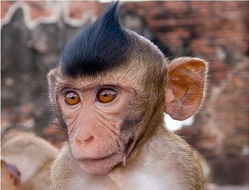 Những mái tóc cực xì tin của... khỉ 10071214