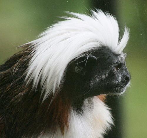 Những mái tóc cực xì tin của... khỉ 10071215