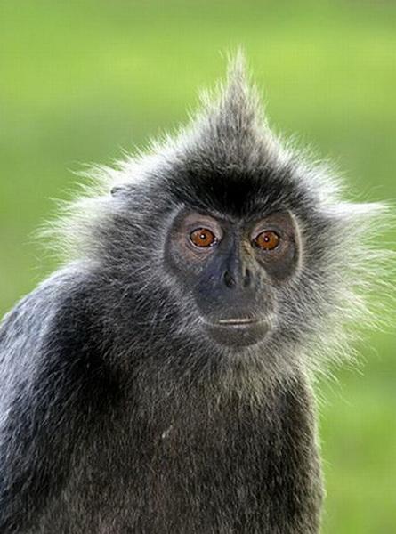 Những mái tóc cực xì tin của... khỉ 10071217