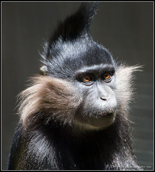 Những mái tóc cực xì tin của... khỉ 10071219