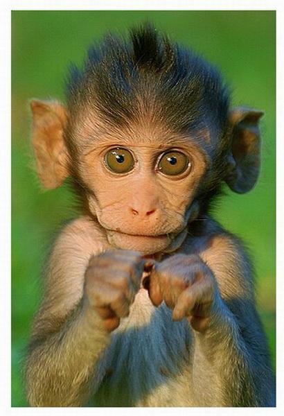 Những mái tóc cực xì tin của... khỉ 10071228
