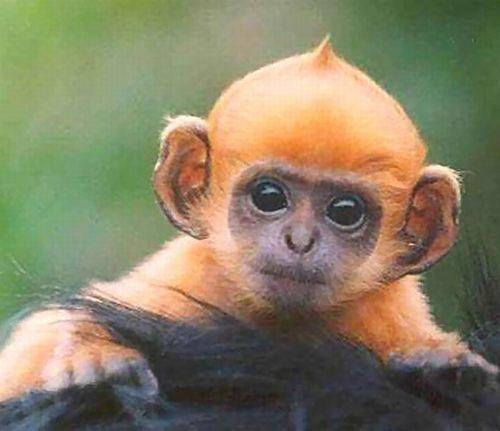 Những mái tóc cực xì tin của... khỉ 10071231