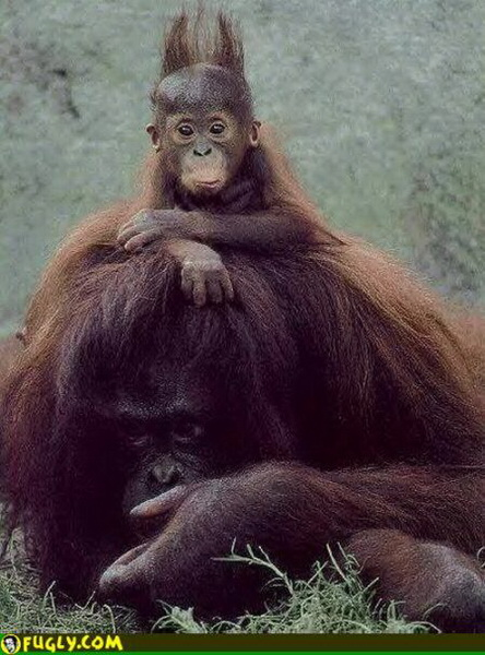 Những mái tóc cực xì tin của... khỉ 10071232