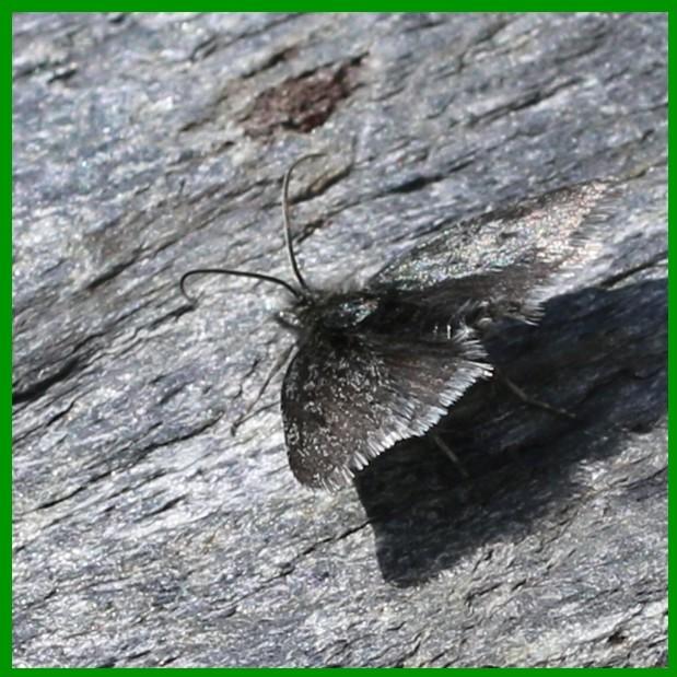 papillon nocturne P_nc_210
