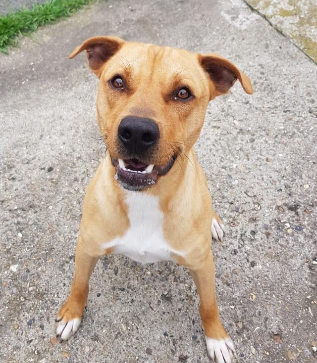 Flash, mâle castré croisé Labrador 20180416